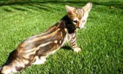 Beautiful tri-color marble pattern. Green eyes and glittered pelt. Pedigree registered with TICA. Vaccinated and litter box trained. $650.00 for loving pet, great with kids. Raised with children in the home.