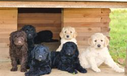 Beautiful Goldendoodle F1B puppies. They will be 8 weeks this coming Sat. Oct. 13th, 2012. They are raised in our home with our five children. (very wells socialized. ) Mom is a CKC standard Goldendoodle and Dad is an AKC and OFA certified Standard