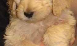 We have some adorable female Goldendoodle puppies available and ready to go to their new homes. You can check them out on our website at www.puppiesbreath.com. We offer a $70.00 rebate to have your dog spayed by 6 months of age. We send you home with a