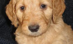 Oodles of Doodles at www.puppiesbreath.com check us out on the web or call for more information. 561-688-3080