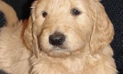 Beautiful blond puppies. Very Calm in nature. Wonderful pets. Registered, health certificate and rebate offered for neutering or spaying. Visit our website at www.puppiesbreath.com. Call 931-581-0697