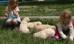 Top of the line goldendoodle puppies parents AKC Great soft curly coats that dont shed great with kids and other pets very smart and easy to train mother golden retriever father white standard poodle males and females still available delivering to from