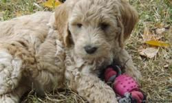 Goldendoodle Puppy Steve is the last one of these two litters..He is 9 weeks old and ready for his FURever home...He is a sweet puppy...Loving and