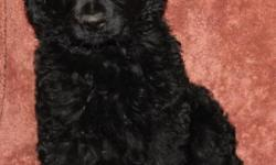 One black Goldendoodle female puppy available, 8 weeks old, has first shots and wormings. The tail is long docked, dew claws removed. Mom is an AKC Golden Retriever, father is AKC Champion Stock Black Royal Standard Poodle. Pedigree and health guarantee