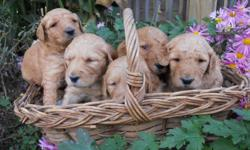 Adorable F1 & F2B Goldendoodle Puppies.  Shots/wormed, vet-checked.  Available 12/13...Great Christmas Gift!!