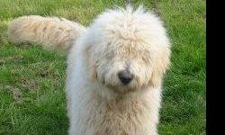 We have a litter of goldendoodles on the way, momma is due Dec. 2nd. These pups will be family raised and well socailized with children and other pets. They have great soft non shedding coats. Goldendoodles are very smart and learn quickly,