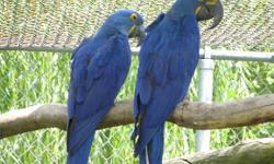 Tamed Hyacinth Macaw Parrots with a nice cage get back to me at (maxjude77@yahoo.com) thanks or you send me a text at text only