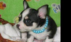Beautiful black and white male chihuahua puppy for sale. Born 2-12-2011. This little guy is too cute for words. He has a gorgeous apple head, great personality, and loves attention. Should be 4-5lbs grown. First shots, de-worming, and health guarantee