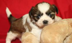 2 Males (Cotton #1-#2 #3--- Oliver #4) --Gorgeously marked ACA reg Shih tzu puppies. They from very loving parents with great temperments. Will be family raised by adults and children (ages 5-9-15)....As they mature, they will enjoy baths, rides in the