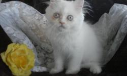 BEAUTIFUL FLUFFY MALE PERSIAN KITTEN HEALTHY VERY SWEET AND LOVING AND PLAYFUL AND READY FOR HIS NEW FOREVER LOVING HOME LITTERBOX TRAINED AND ALREADY SPOILED RAISED IN MY HOME AND SHOWED LOTS OF LOVE AND CARE FOR MORE INFO CALL 7135535954 ARE VISIT