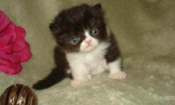 PRETTY FLUFFY PERSIAN MALE BABIES HEALTHY PLAYFUL VERY SWEET AND LOVING LITTERBOX TRAINED RAISED IN MY HOME AND GIVEN DAILY DOSES OF HUGS AND KISSES A SMALL DEPOSIT WOULD HOLD THE ANGEL OF YOUR DREAMS THEY WOULD BE READY FOR THERE NEW HOME THE FIRST WK IN