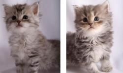 We have a litter of 2 beautiful kittens, 1 male and 1 female now available. They are 12 weeks old, blue tabby Siberians and are ready for their new homes now. Kittens will come with their TICA registration papers, shots and vet check records. Each kitten