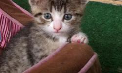These 3 gorgeous 9 week old kittens were born on April 7, 2011. They are litter box trained and eat blue buffalo kitten food. They are always sweet, love to play, and be held. There is a small adoption fee of $50 to good homes only. call (760)758-1898
