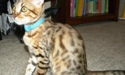 This beautiful Rosette male Bengal kitten will make a perfect edition to any home! He is playful and full of energy. His distinct markings can be clearly seen, he is a beautiful golden brown and his spots are beautiful. This kitten is 4months old and