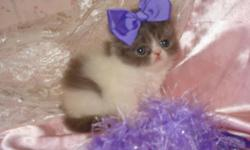 BEAUTIFUL FLUFFY PERSIAN KITTENS BORN ON 01-26-11 THEY WOULD BE READY FOR THERE NEW HOME IN APRIL A SMALL DEPOSIT WOULD HOLD THE LITTLE ANGEL OF YOUR DREAMS THEY ARE SUPER SWEET AND SO VERY LOVING THEY ARE RAISED IN MY HOME WITH LOTS OF LOVE AND CARE AND