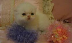 BEAUTIFUL LITTLE ANGEL PERSIAN BABIES A RAINBOW OF COLORS TO CHOOSE FROM HEALTHY PLAYFUL SUPER SWEET AND LOVING RAISED IN MY HOME AND SHOWED LOTS OF LOVE AND GIVEN DAILY DOSES OF HUGS AND KISSES FOR MORE INFO PLEASE VISIT OUR WEBSITE AT
