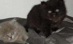 Two Gorgeous persian kittens. Mother Persian chinchilla, father chocolate Himalayan. $400 each. Ready to go home after May 10th. For more information please email anyakhrushakova@live.com or call 949-842-0436