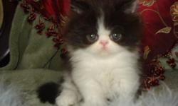 LOVELY HANDSOME MALE PERSIAN BABY HEALTHY LITTERBOX TRAINED VERY SWEET AND PLAYFUL THIS LITTLE ANGEL IS FULL OF HAIR LOOKS LIKE A LITTLE TEDDY BEAR HE IS RAISED IN MY HOME AND SHOWED LOTS OF LOVE AND CARE HE GOES HOME WITH FIRST VACCINES HEALTH RECORD