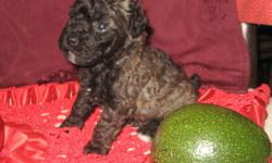 ~ Gorgeous Purebred Small TOY Poodle Female Puppy ~ They are Register with CKC (Continental Kennel Club). We have one black color girl available SO MAKE AN OFFER?? She wore born on March 25, 2011.. She had her first and second set of shots and