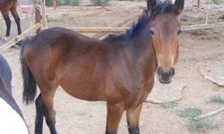Weanling filly ready for her new home. Gorgeous girl with speed and unlimited potential. Straight with great confirmation. serious inquiries respond this this ad or call (928) 757-8009