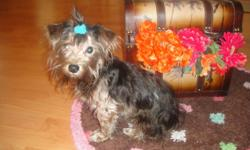 GORGEOUS YORKIE PLAYFUL SWEET AND LOVING AS CAN BE A LITTLE BOY IS SOCIALIZED AND LOVES PEOPLE HE IS SMART POTY TRAINED AND HE GOT ALL SHATS IF YOU HAVE ANY QUESTIONS PLEASE FEAL FERR TO CALL AT (818) 427-7377 MARINE THANK