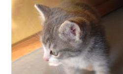 Gray and white short haired male MANX stubby. Classie looking little guy with the white markings in all the right places. Sure to please someone. Pick up only Montana - $75.00 cash & carry.