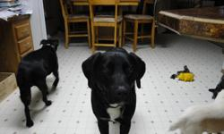 Super friendly Black Lab/Border Collie Mix, loves people and other dogs. House trained and just an all around good boy. His name is Dean and he is a year and half old. He minds great and stays in a fenced yard nicely. We have to move and sadly can not