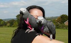 I have 2 loving and beautiful african grey parrots for sale.They are very intelligent and there is more to them than just normals birds as they sing,talk extremely well and dance to the rhythm of good music.They are disease free.
