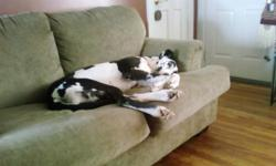 2 year old harlequin female great dane Ok with kids and ok with dogs that are smaller than her. Loves walks, car rides, the couch, and men!!! 2 different color eyes (1 brown and 1 blue)