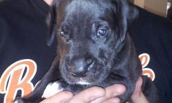 Born June 10th, 2012. AKC paperwork. Has had multiple dewormings and one vaccine prior to recieving. Me and my wife got this beautiful puppy last week, but due to new job opputunities we are not able to give her the attention she needs