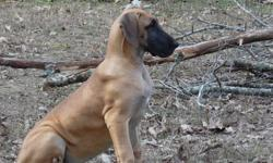 Gypsy is the last of a litter of 12 very healthy puppies. She comes with full AKC registration and breeding rights. She is now 4 and a half months and over 50 pounds. Her sire is an International Champion owned by www.waldenkennels.com His name is Kane.