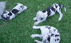 beautiful puppies 1 female Registered parents Sire blue and white / dame harliquine born 4/10/11 House broken