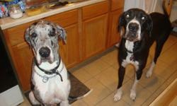 We are expecting a litter of great dane puppies the 1st week of october....we are taking names for our waiting list This is our females 2nd litter and her last one mom is a ckc registered black and white mantle at 150 pounds dad is a CKC registered merle