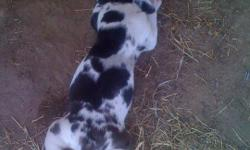 Full blood great dane puppies for sale merles, and harlequins. All females no males. Call Megan 405-258-8852. Stroud Ok