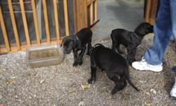 We have 5 Great Dane puppies Black with white markings . These are beautiful high quility AKC & CKC registered. They were born 9/20/2012. They will be ready to go home with you next week. Asking $300 each .Please call 9 AM to 6 PM -=. If question