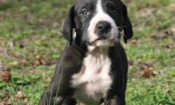 I have AKC Great Dane puppies for sale. Three female Mantle,one Black male , and one Mantle male left in a litter of twelve. they have been Vet check and have had there first shots, they have also been wormed regular. For information on the puppies please