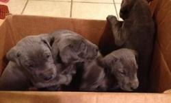Beautiful Blues and blacks! Will be ready to go home November 19th. They have had all puppy shots. They are also AKC registered and vet checked. They have been around other dogs and children. Feel free to email or call with more questions or to see