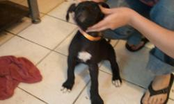We are in Panama City Beach but will met you within reason. We have eight week old black and white puppies they have been vet checked first set of shots and wormed. We have both mother and father with us. For more info call Candace at --