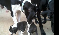 Purebred Great Dane Puppy?s. Black with white,Females, Parents on site--- Mom& Dad dogs have a great temperament and disposition and will surely pass these traits onto her offspring.$400Please call