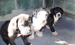 great dane pups first shots & wormed