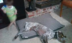 REGISTERED GERMAN SHORTHAIRED POINTER. 4 YEAR OLD FEMALE, HAS BEEN SPAYED AND HAS CHIP. SHE COMES FROM AN EXCELLENT BLOOD LINE AND LOVES TO HUNT. SHE'S ALSO VERY GOOD WITH KIDS AND LOVES TO PLAY WITH THEM. FREE TO A GOOD HOME.