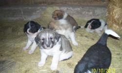 Have 4 males and 4 females Great Colors 5 weeks old All happy and healthy puppies Great with kids Will be fairly large dogs All need a loving home Call -- after 5 pm Located in Rhame ND