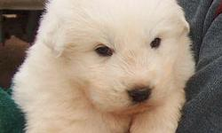 Great Pyrenees puppies. Bonded with livestock and ready to go.