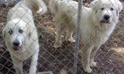 Great Pyrenees puppies.Male and females, (6) out of (10) left. Solid whites and badgers. CKC reg and will have first shots/wormed. Ready around November 1st! $250-$300 FIRM Call -- or --.