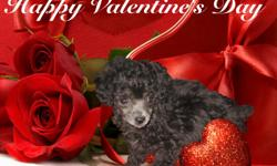 Beautiful Ckc Register Teacup or Small Toy poodle Female puppy.. She was born on December 08, 2010 - She will be ready just in time for Valentines Day.. She will be a great Valentines Gift.. So Make an OFFER... She was born solid black but as you see on