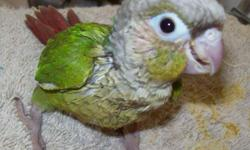 Three (3) Green Cheek Conures ($125.00 ea), one (1) Cinnamon Green Cheek ($150.00). All beautiful and sweet tempered. Hand-fed, just weaned. All have had first flight just this week! First baby hatched March 18. Call or email if interested.