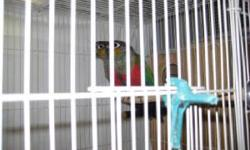 2 green cheek conure babies $200.00 each 2 crimson bellied conure babies $500.00 each Macaws and other birds available occasionally Sasha 815-931-2016 leave a message