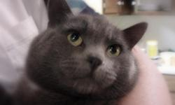 """grey male cat 4 yrs old """"Rebel"""" (indoor/outdoor - fixed) Hair-medium length Why? Landlord orders"""