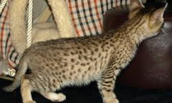 GROGEOUS FEMALE F2 SAVANNAH KITTEN FOR CHRISTMAS,SHE IS WELL SOCALIZED AS SHE LOVE TO PLAY WITH KIDS AND OTHER HOME PETS.SHE LISTEN TO BASIC DOMESTIC COMMANDS WHICH MAKEs HER A DARLING.CONTACT FOR MORE INFORMATION AND PICTURES.
