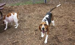 Gwyn is an amazing (Spayed) Female, Walker Hound that I have been fostering, trying to get her a home, for the past 2. She is a great dog but NEEDS a home where she can be a hound- be it on a ranch or somewhere with a large yard. She IS a hound, so they